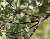 fresh manzanita for flower decorations