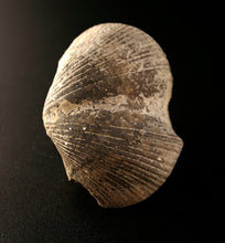20019_Pyritized Brachiopod - top view