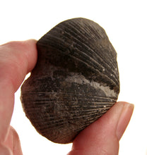20019_Pyritized Brachiopod - showing detail on shell