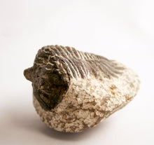 Fossil- Trilobite - Coltraneia (Tower Eyes) bending