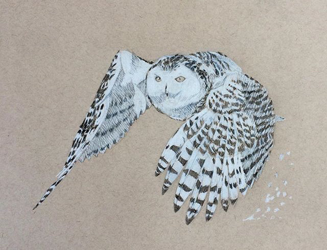 Graphite and conte drawing of a snowy owl mid-flight on tan toned paper by Joshua Kaiser