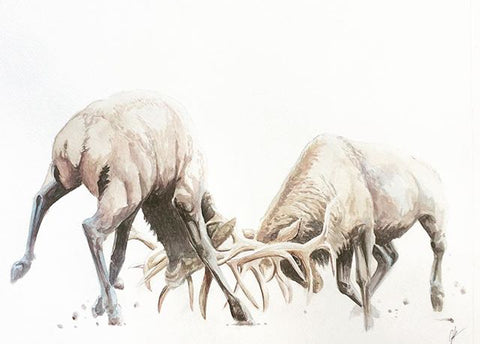 watercolour painting of two stags head bowed, attached by the antlers on a clean white page by Joshua Kaiser,