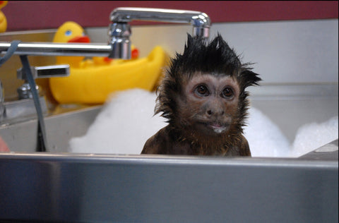 Image of a monkey in the bath