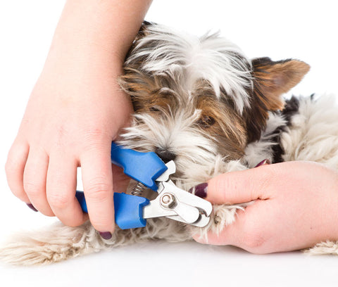 a puppy getting its nail clipped with scissor nail clippers