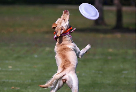 Healthy dog catching frisbee in mouth