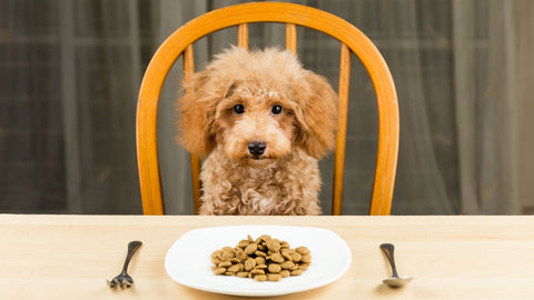 Poodle sitting at table ready to eat homemade dry dog food