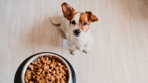 Holding bowl, wondering How much dry food should I feed my dog? And hungry dog