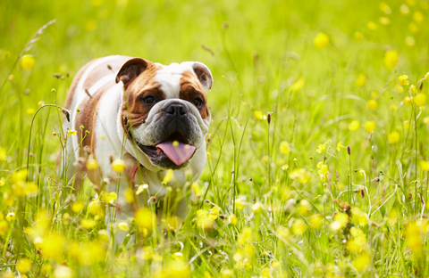 Bulldog in flower field waiting for a biscuit