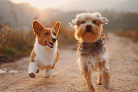 wellbeing-for-dogs-guide-corgi-and-friend