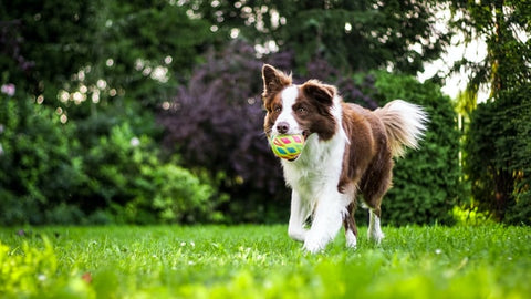 select the best dog food to keep your dog health collie running with ball