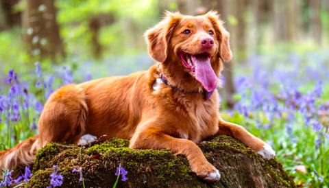 brown dog outdoors surrounded by purple flowers