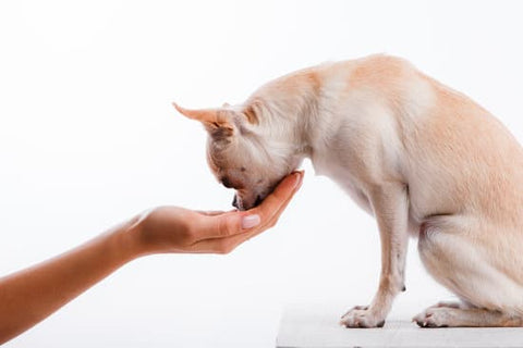 Chihuahua leaning toward owner's hand that is holding a treat