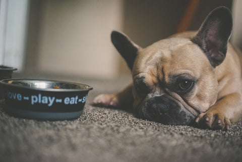 Alt: is one can of wet food enough for a dog Frenchie with bowl