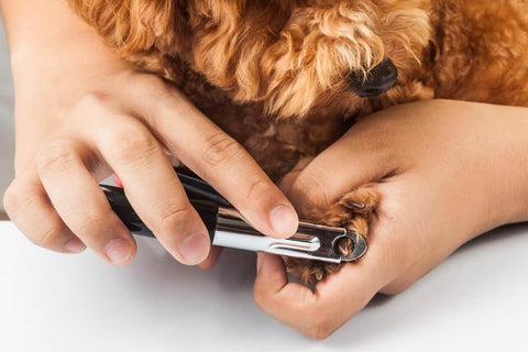 guillotine dog nail clippers cutting cavoodle nails