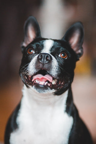 wellbeing-for-dogs-denal-health-smiling-boston-terrier