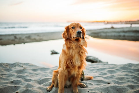 how to improve your dogs coat golden in the sun