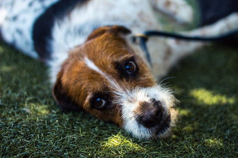 when rescuing a dog be prepared that it may not work out jack russel mix