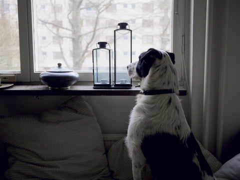 Do dogs get bored dog looking out the window