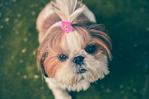 diy groomed small dog shih tzu with bow