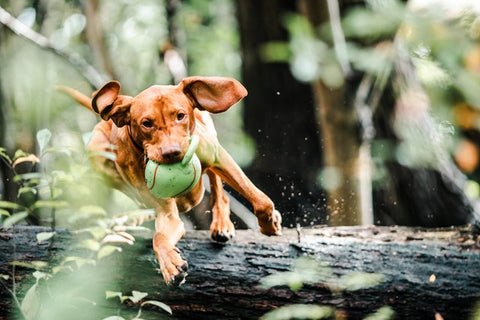 keep your dog active with glucosamine and chondroitin