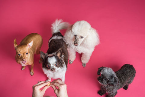 DIY small dog grooming four small dogs