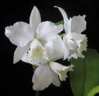 Cattleya Orchid Plant white, christmas plants