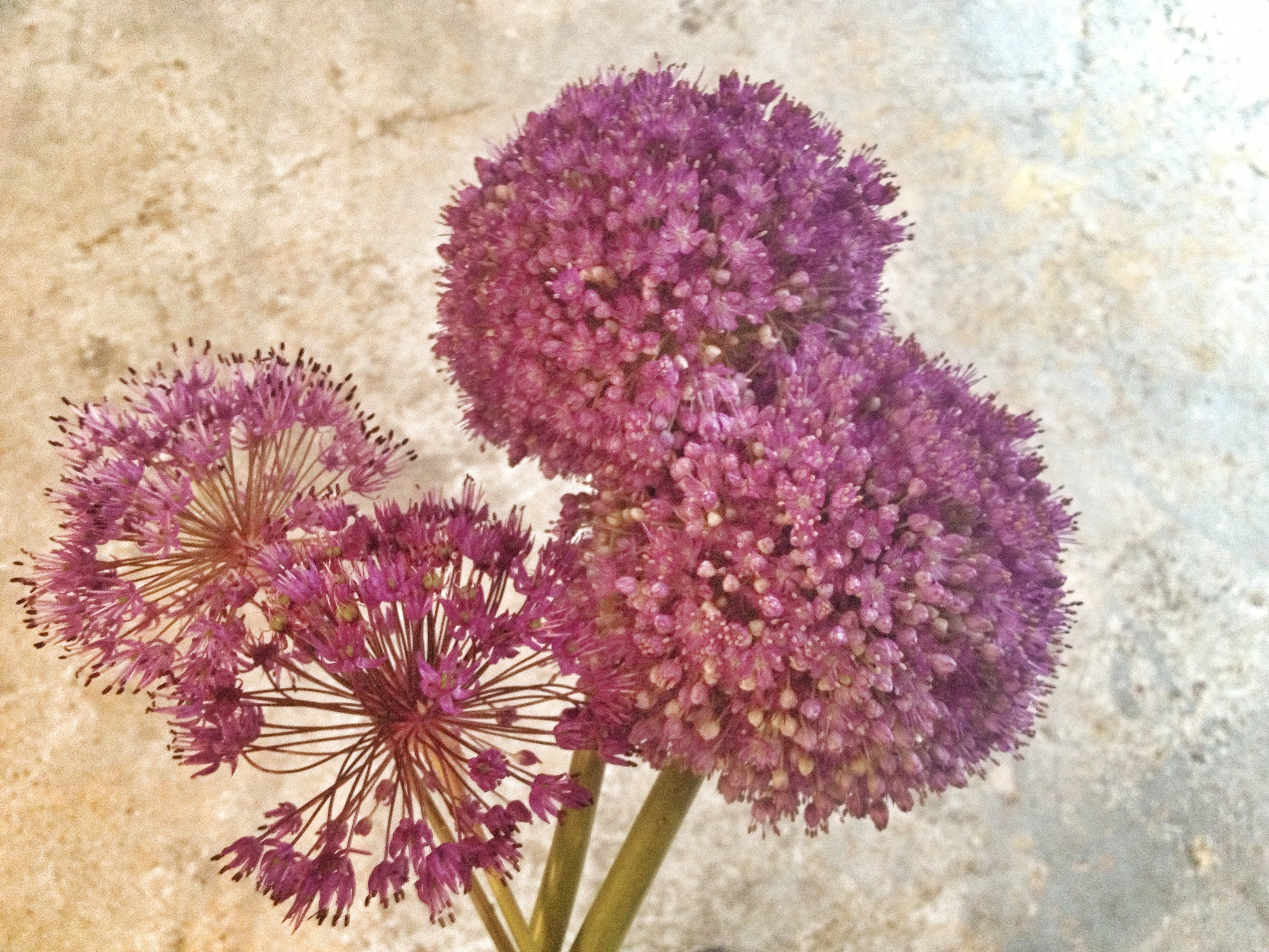 Rochester NY Florist, Favorite Friday, purple allium by the stem