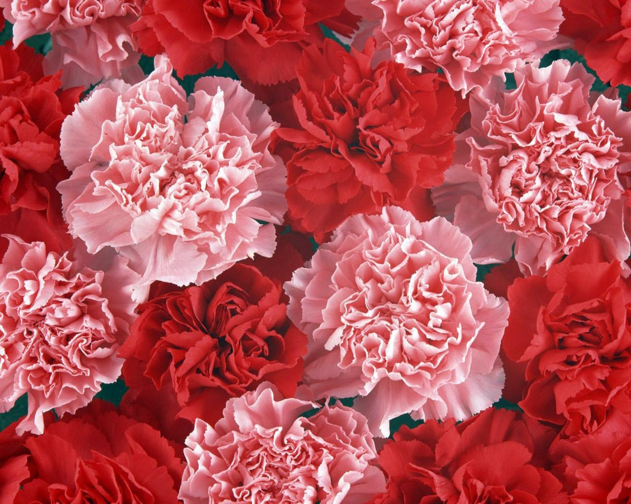 carnations-flowers-81153-2006
