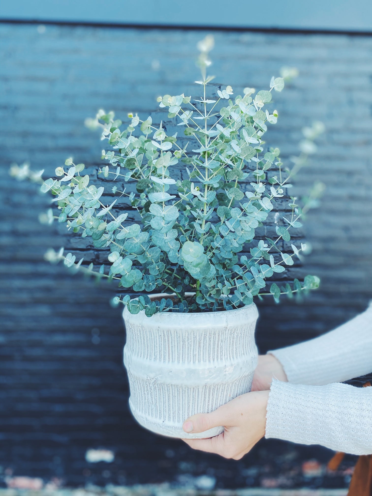 Eucalyptus plant potted in white pot