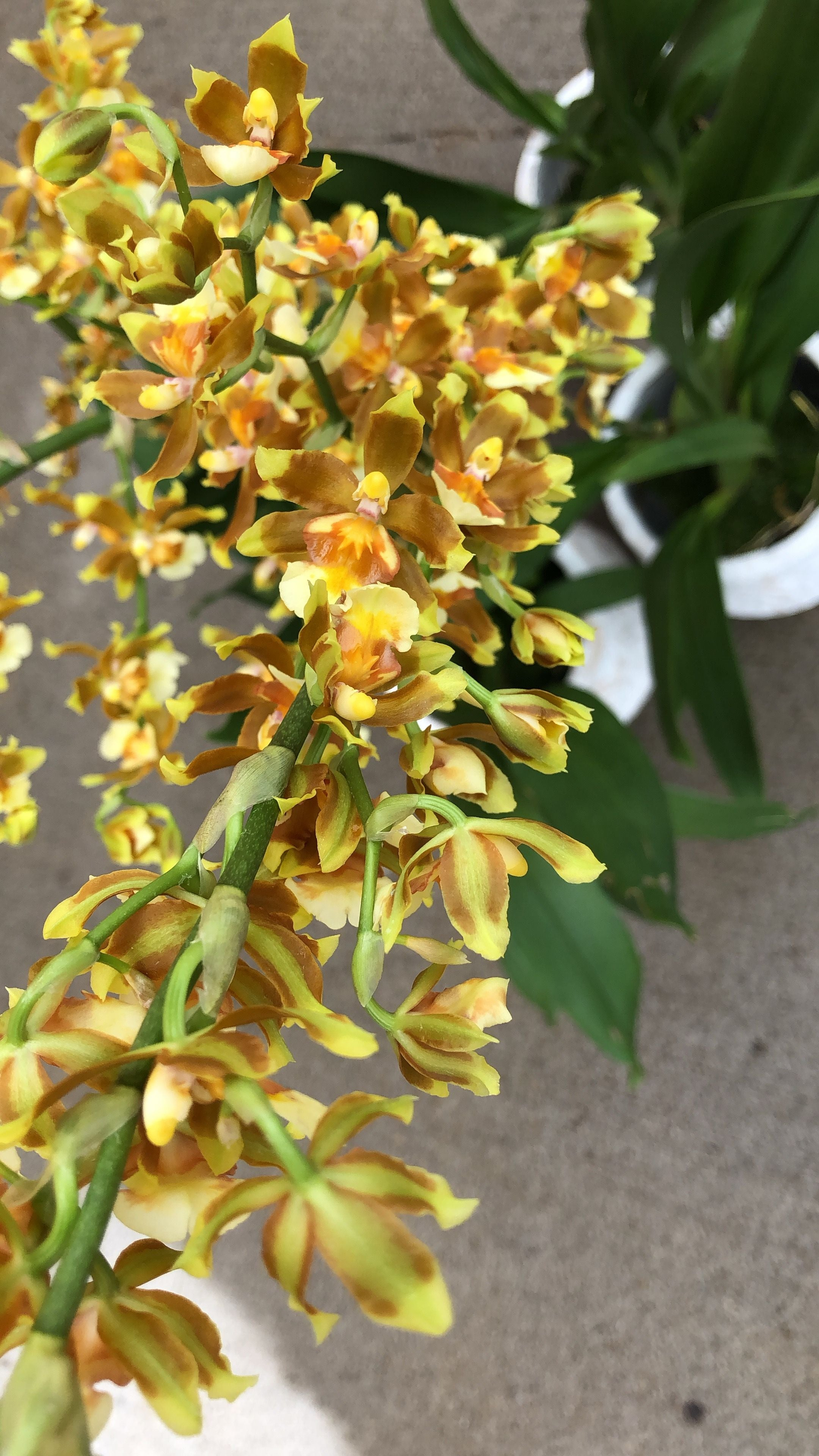 yellow orchid with small beautiful blooms
