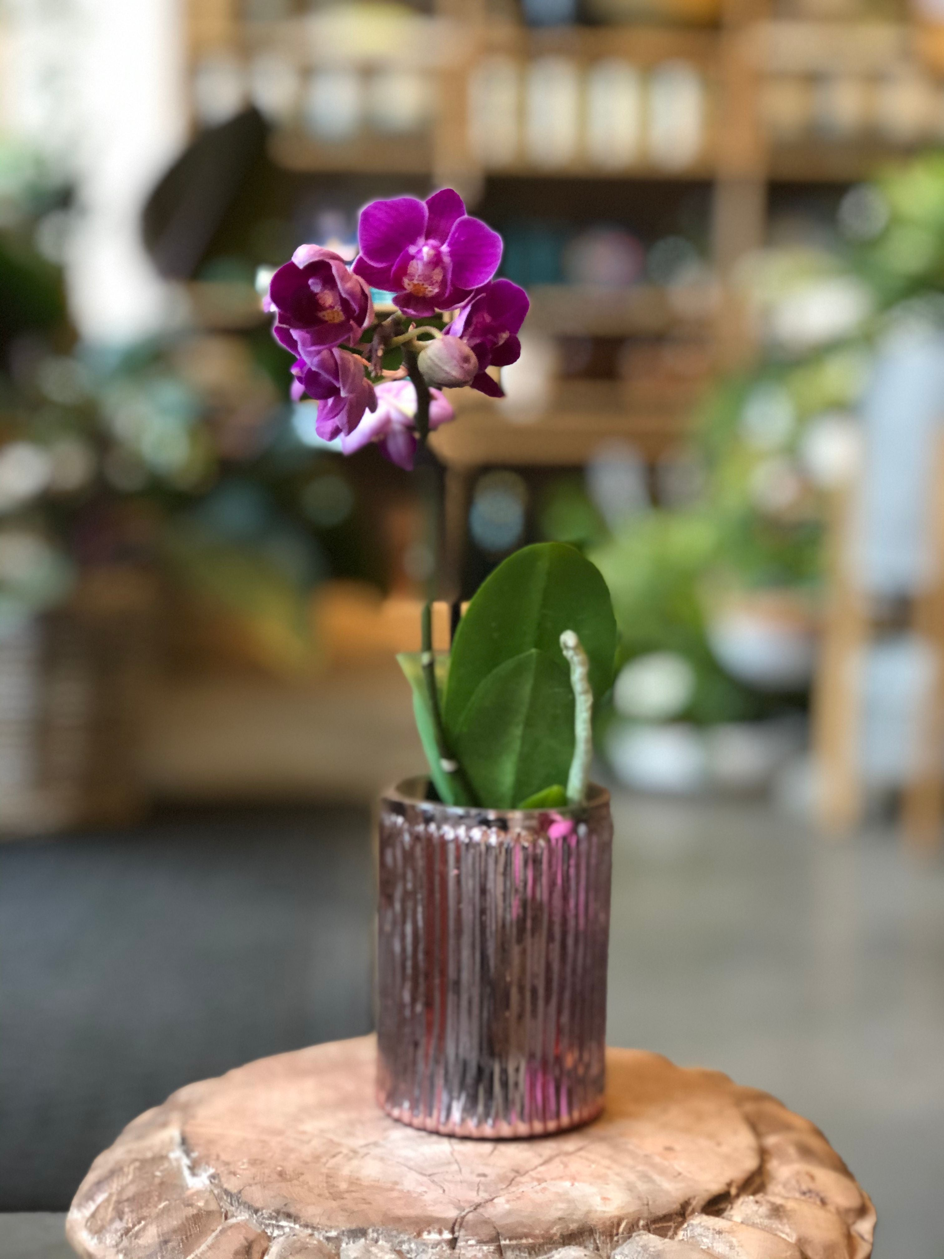 small purple orchid in pink pot