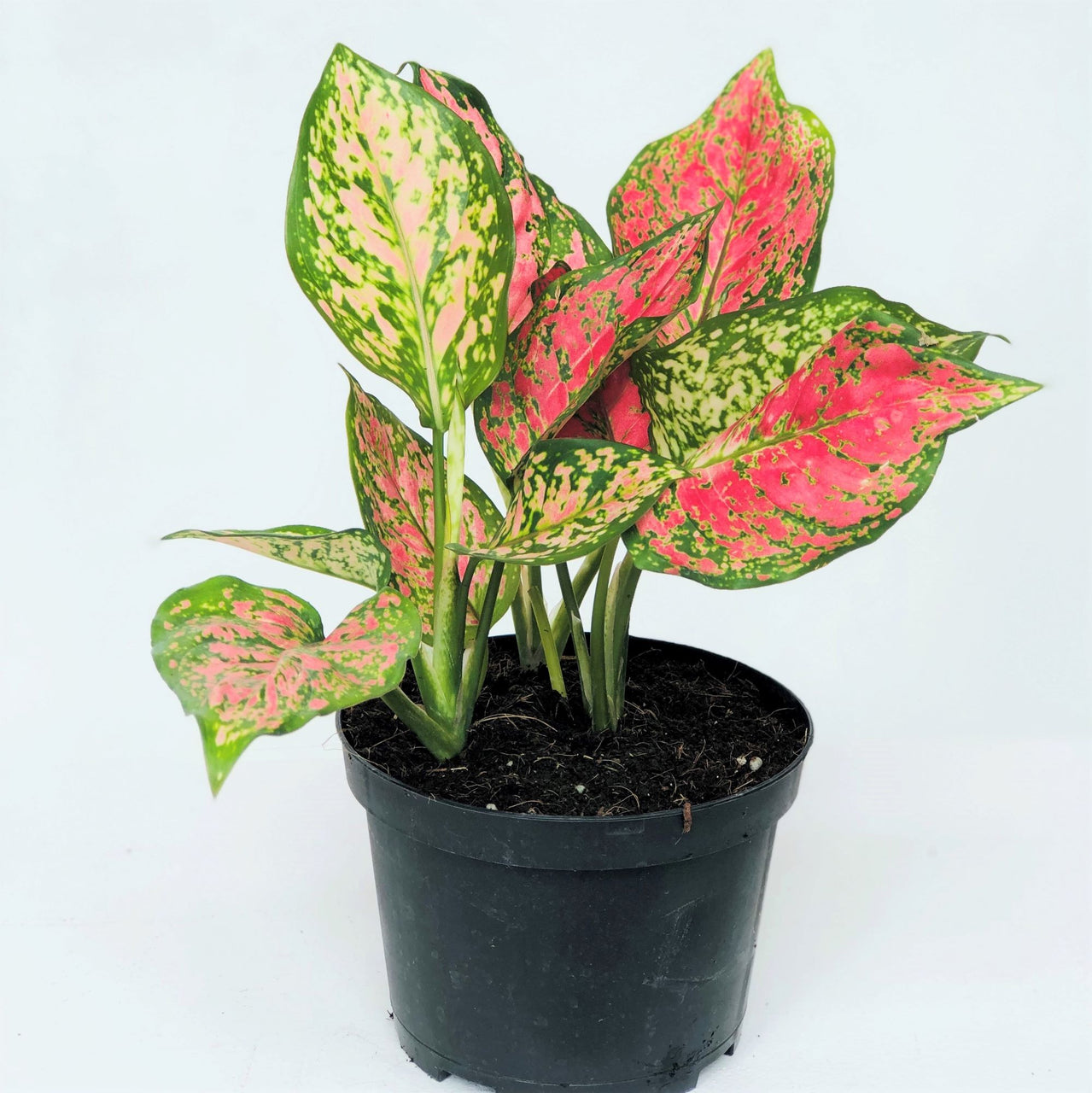 Aglaonema like bright indirect sunlight best, but will thrive in low light conditions-- making them ideal for offices and homes (especially house plant beginners). Keep the soil moist but never soggy, moderation is key. Aglaonema can survive in a low humidity environment, but they will thrive with a higher humidity level which can be achieved by misting the leaves regularly.  Comes in a 6 in nursery pot.