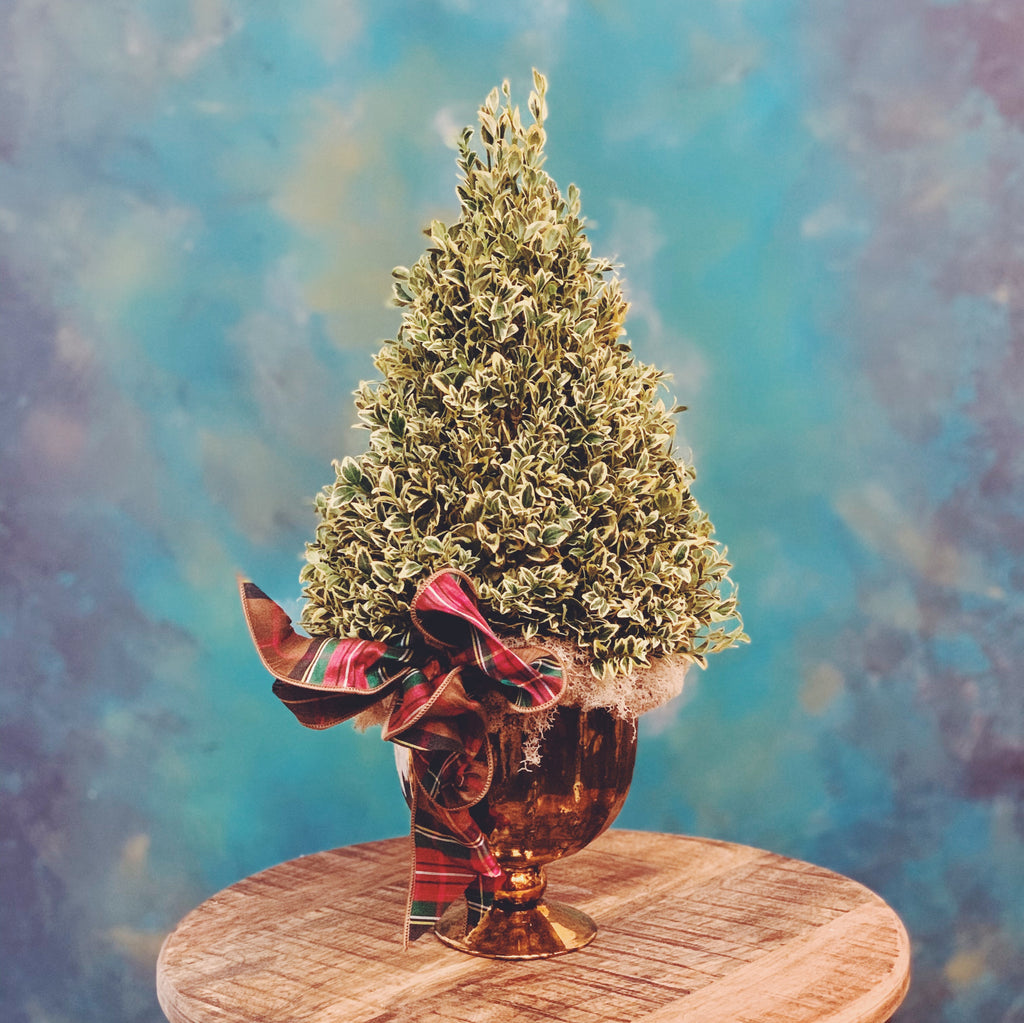 variegated boxwood tree