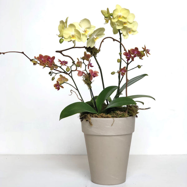 Deluxe Orchid Houseplant in Pot - STACY K FLORAL Two blooming orchid plants potted in a neutral container with moss and branching accents.