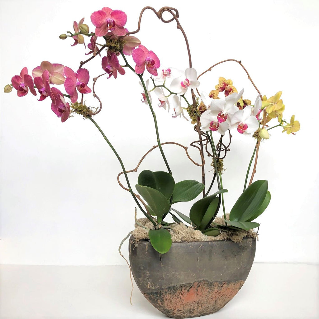 Luxury Orchid Houseplant in Pot - STACY K FLORAL
