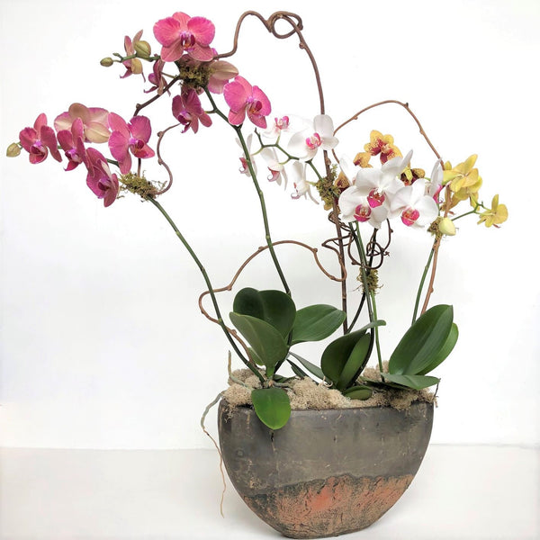 Luxury Orchid Houseplant in Pot - STACY K FLORAL Houseplants Multiple blooming orchid plants potted in a large sleek container with moss and branching accents.