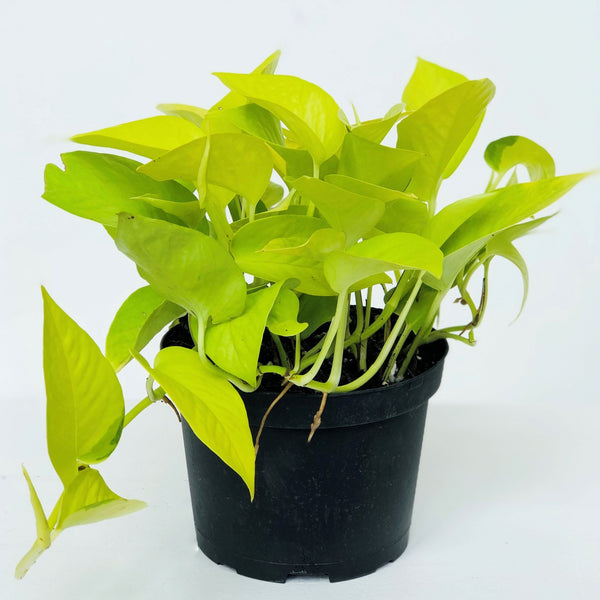 Neon Pothos Houseplant - STACY K FLORAL The Neon Pothos houseplant is able to adapt to lower light but thrives in bright, indirect light year-round. Keep the soil moist, but not wet or saturated; it's best to water when the top inch of the soil is dry.