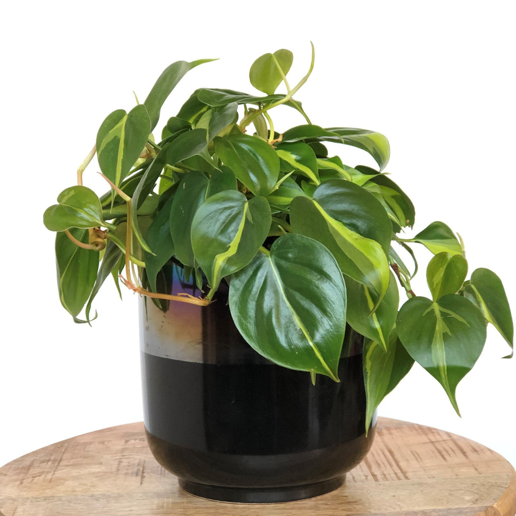 Philodendron Houseplant - STACY K FLORAL