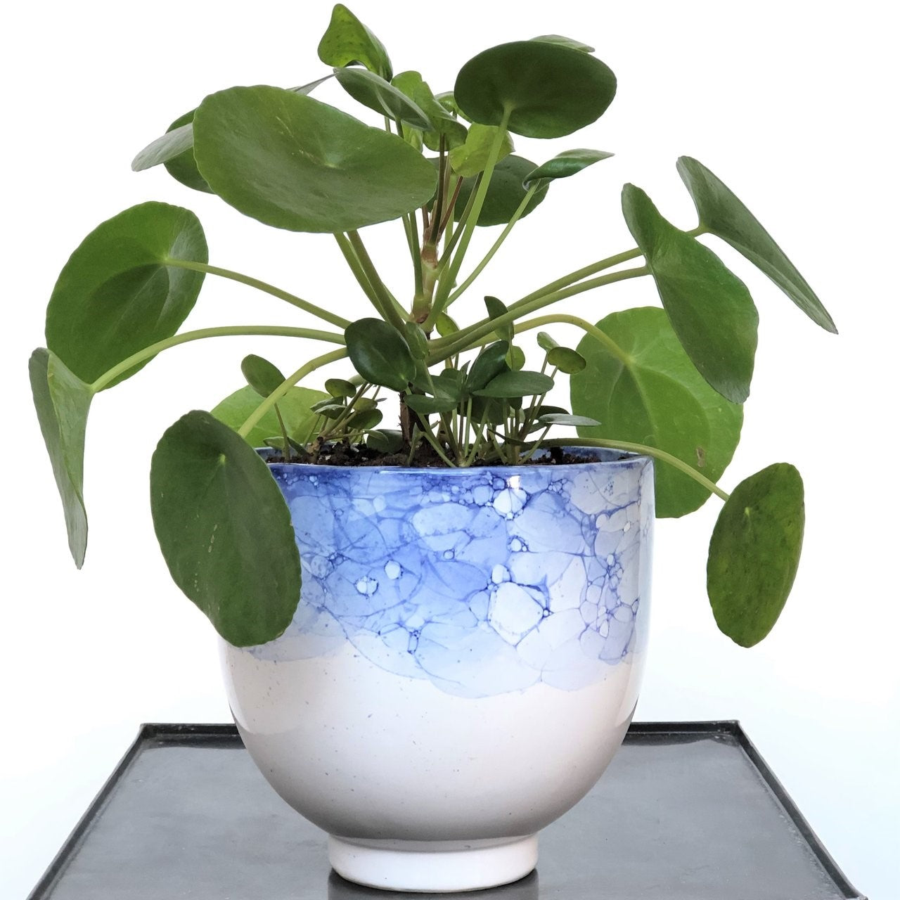 Stacy K Floral Pilea Peperomioides grow well in dry conditions, can adapt to low light areas, and are fast-growing which makes them a great low-maintenance plant for beginners. Pilea plants are happiest in a spot with bright indirect sun. Allow the soil to dry between waterings. Comes in a white and blue container.