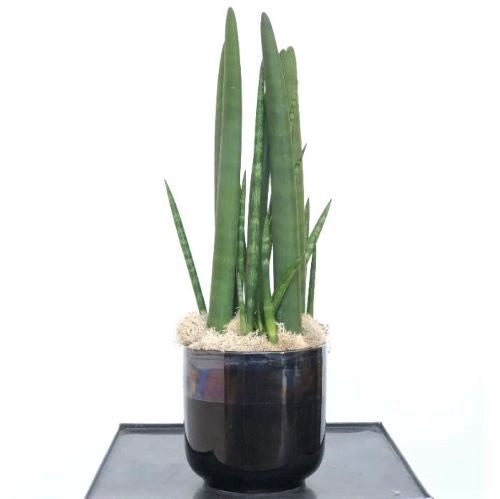 Snake Plant Houseplant - STACY K FLORAL Snake plant potted in black ceramic container with decorative reindeer moss.