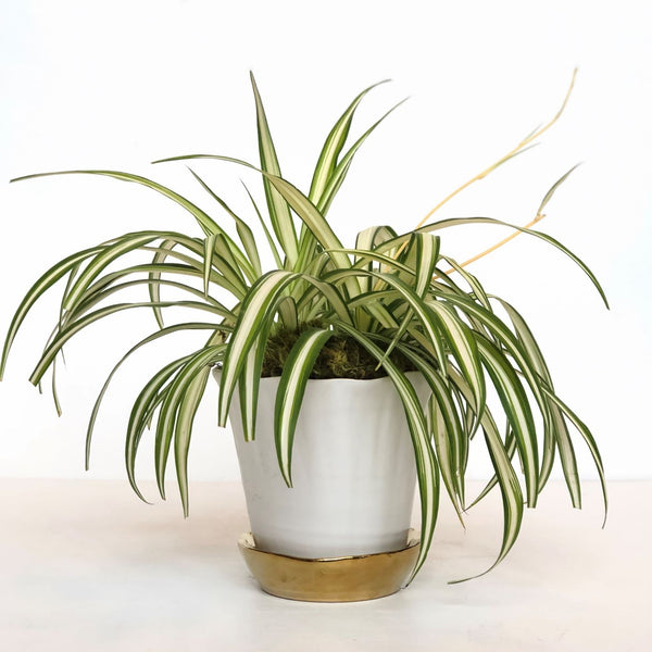 Spider Plant - STACY K FLORAL This easy to grow houseplant is the perfect addition to your home. Spider plants are known for long arching leaves and their air-purifying qualities. They are pet-friendly and ideal for houseplant beginners!