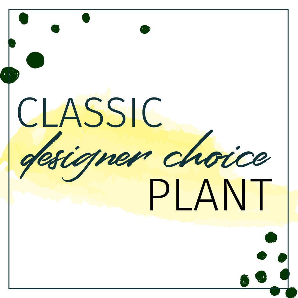 Designer's Choice Classic Plant Houseplant - STACY K FLORAL Looking to send a plant but not sure what?  Let our design team select for you based on your monetary preference.  Our studio is full of houseplants at all times and it's hard to keep everything on the site.