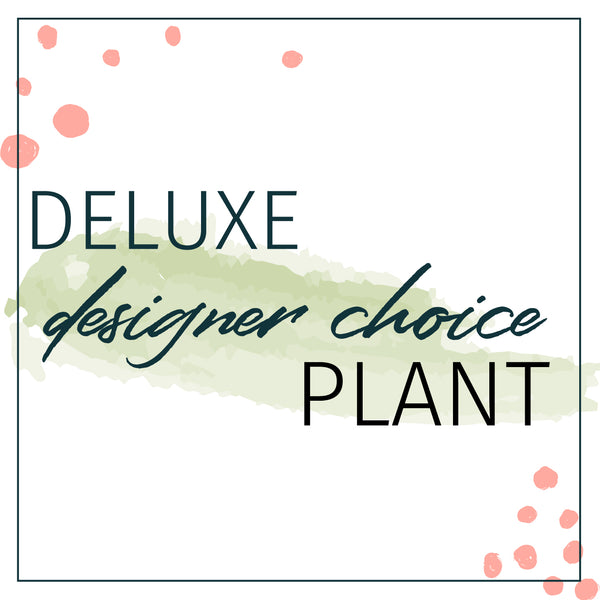 Designer's Choice Deluxe Plant Houseplants - STACY K FLORAL