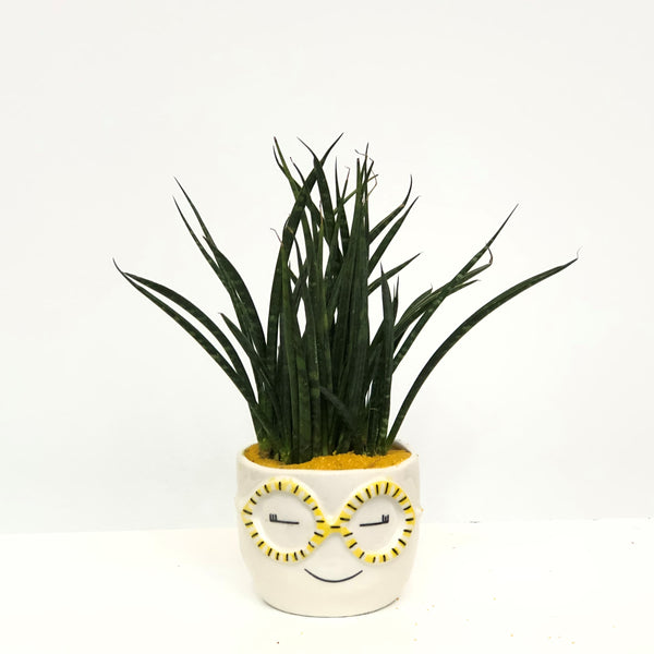 Sansevieria Fernwood in face pot 1