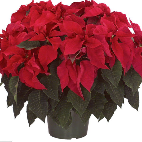 Red Poinsettia Houseplant - STACY K FLORAL