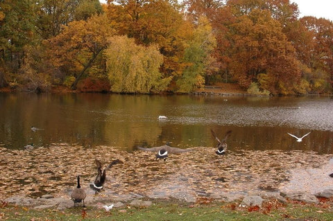 Van Cortlandt Park lake with ducks in New York City.