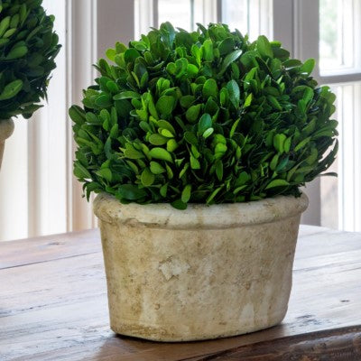 Potted Oval Boxwood sm