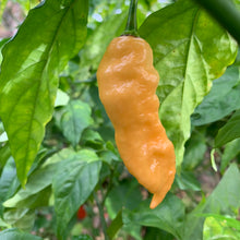 Bhut Jolokia Peach WM - Seeds - Bohica Pepper Hut