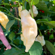 White Bhut Jolokia JW - Seeds - Bohica Pepper Hut