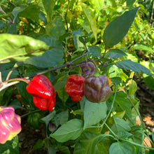 Purple Ghost Scorpion - Seeds - Bohica Pepper Hut